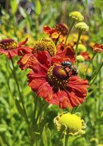 Biene auf Blume Insel Mainau