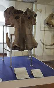 Mamut im geologischem Museum Kleve