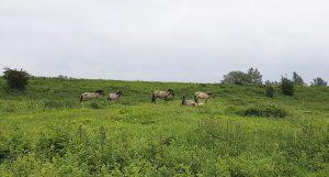 Ausflugstipp Fort Pannerden, wilde Pferde